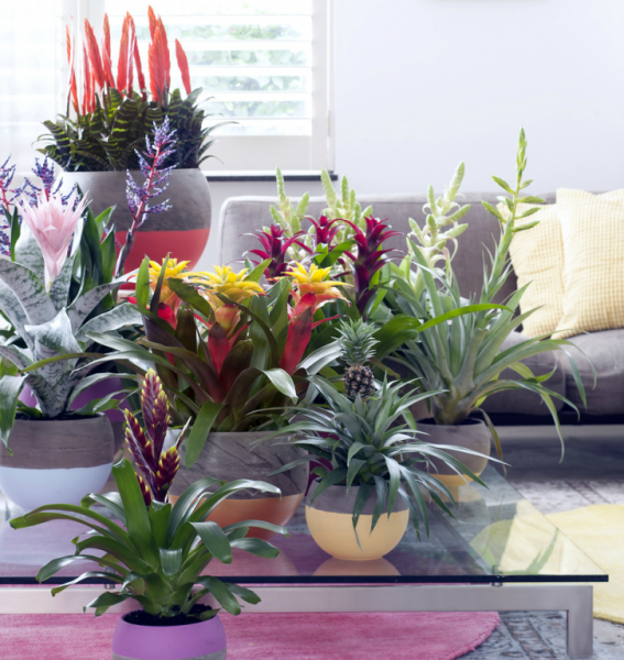 bromelien sind die sind zimmerpflanzen des monats m rz. Black Bedroom Furniture Sets. Home Design Ideas