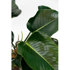 Philodendron Green Beauty - image 2