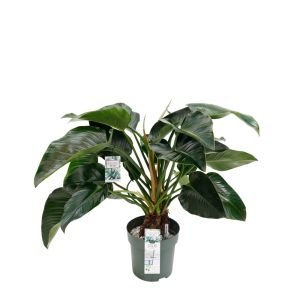 Philodendron Green Beauty - image 1